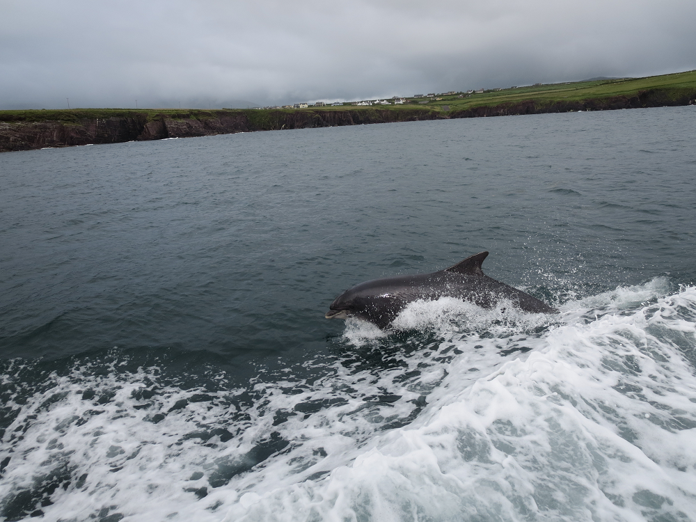 Fungie is one of the most unique & fun things on our Ultimate Ireland Bucket List