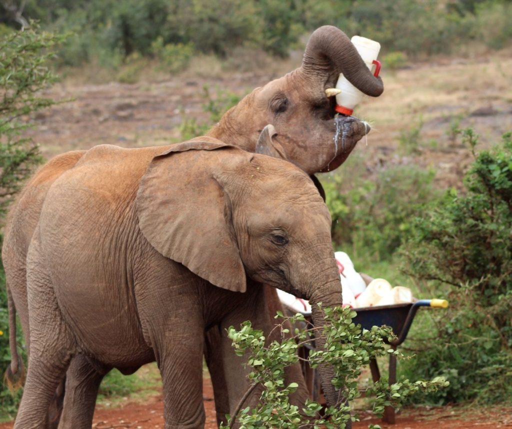 Baby elephants drinking milk. The Sheldrick Wildlife Trust is one of the best ethical animal encounters in the world!