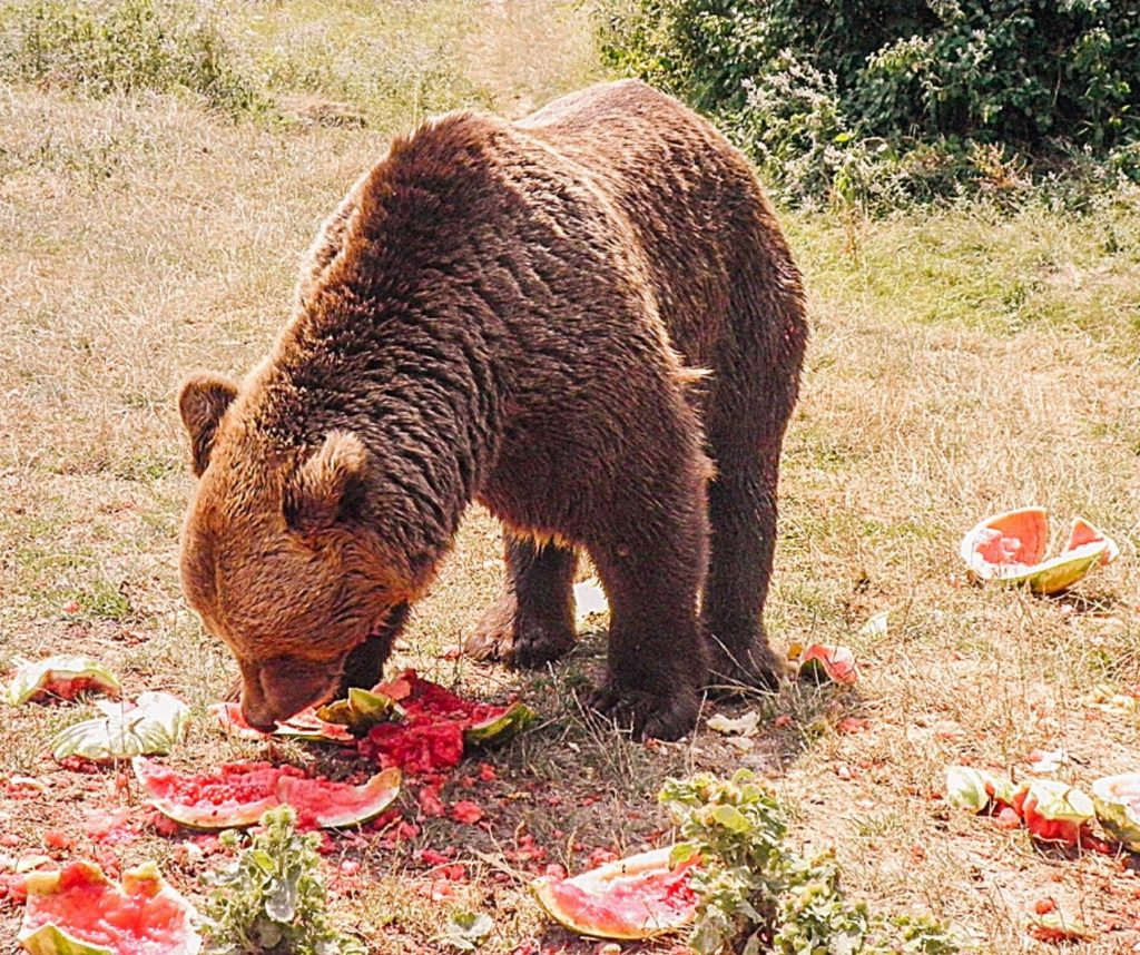 Visiting a bear sanctuary is a great ethical animal encounter.