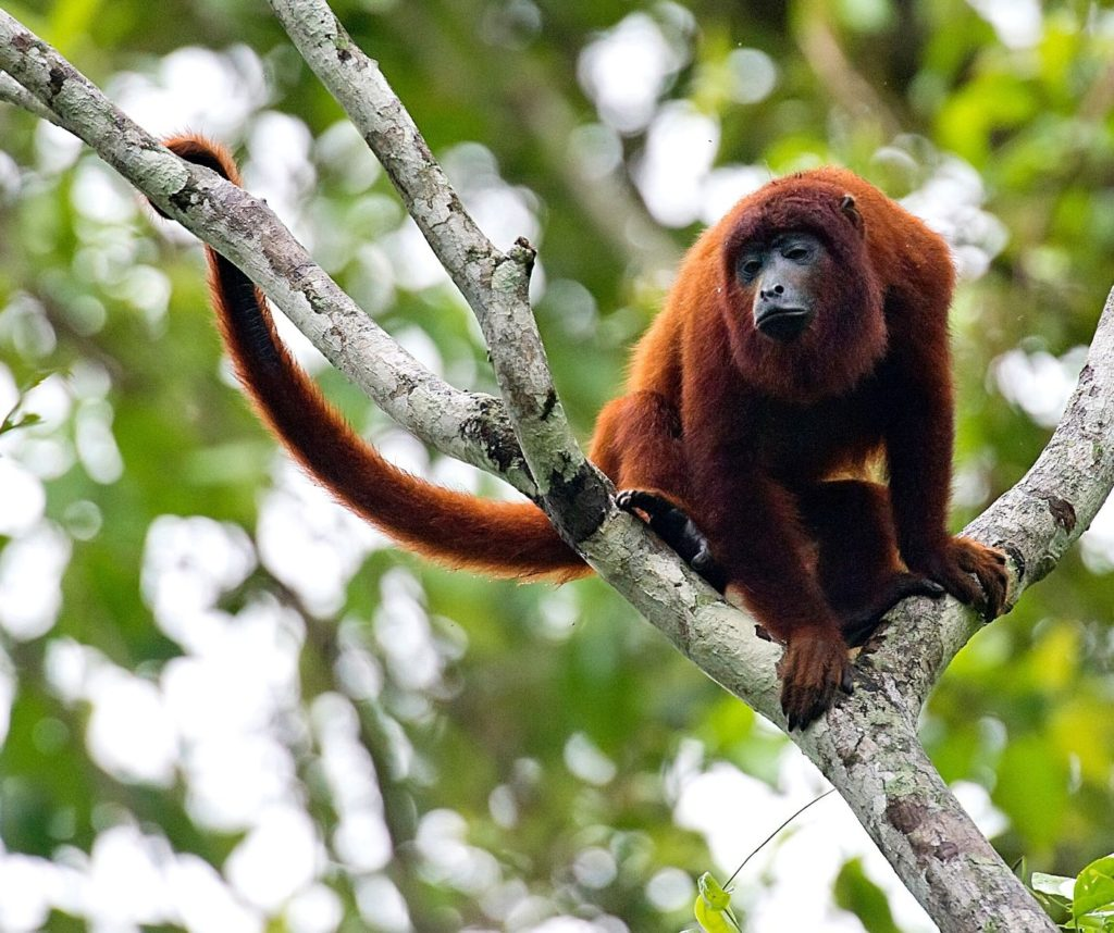 Seeing howler monkeys in the wild is a great ethical animal encounter.