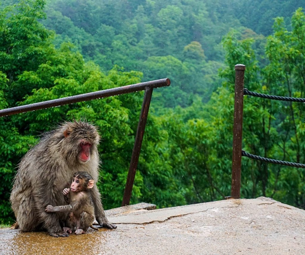 A baby monkey with parent.
