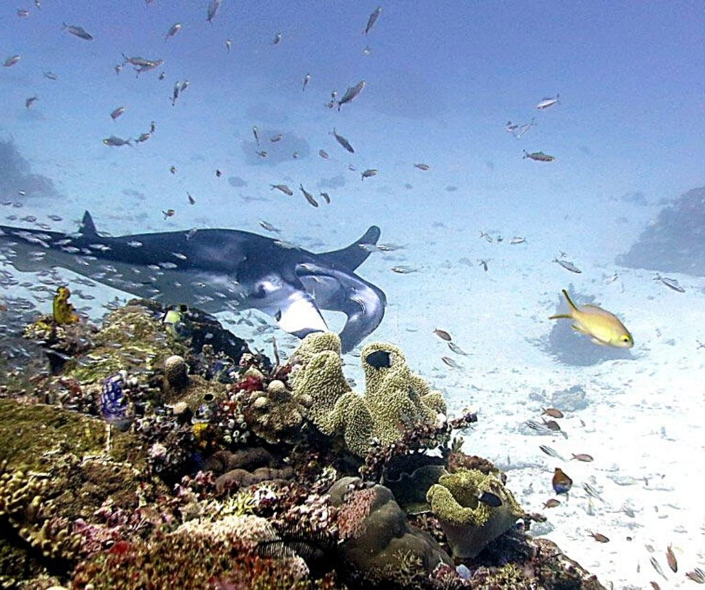 Scuba diving with manta rays is one of the best ethical animal encounters in the world.