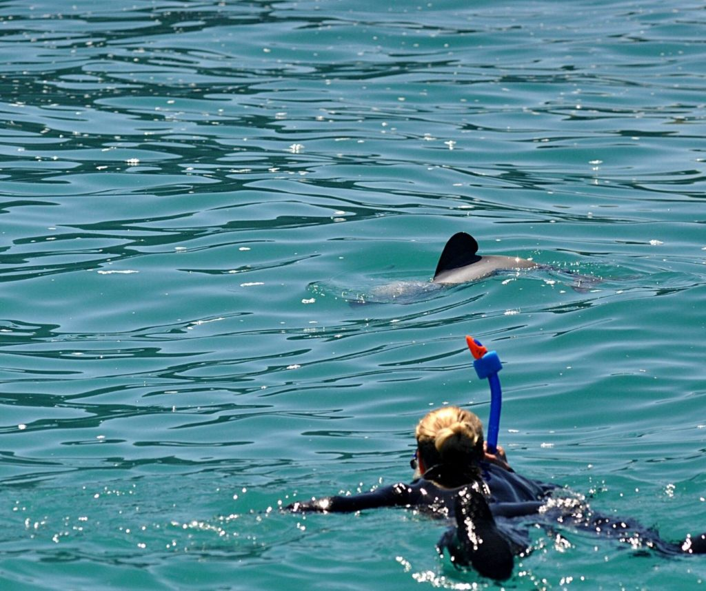 Snorkeling with wild dolphins is one of the best ethical animal encounters in the world.