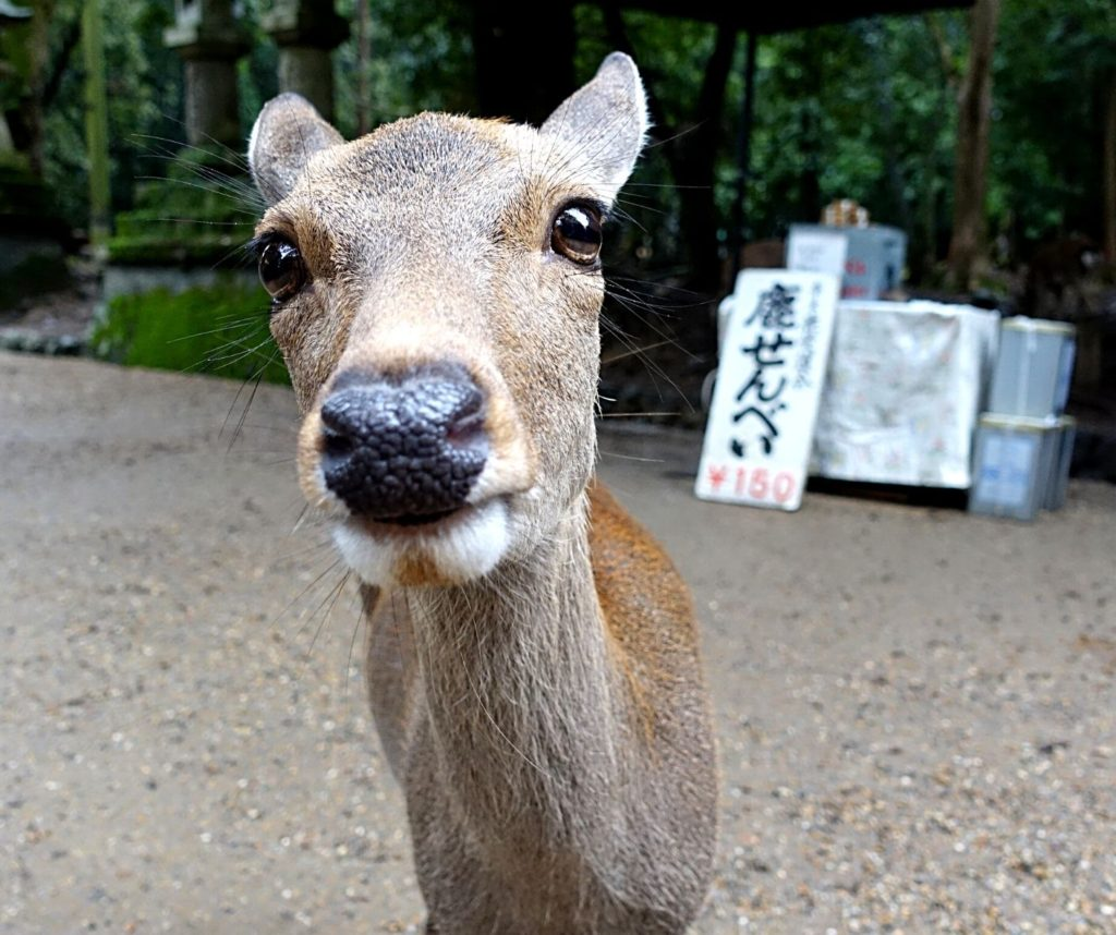 The Nara deer are wild and free, making it one of the best ethical animal encounters in the world.