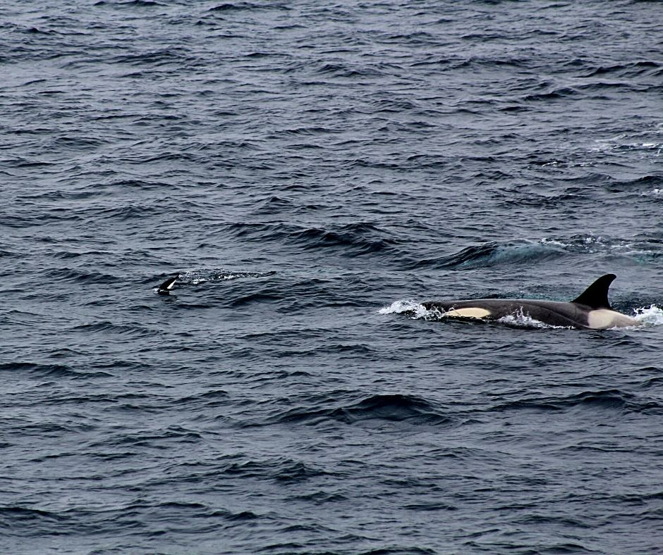 An orca hunting a penguin