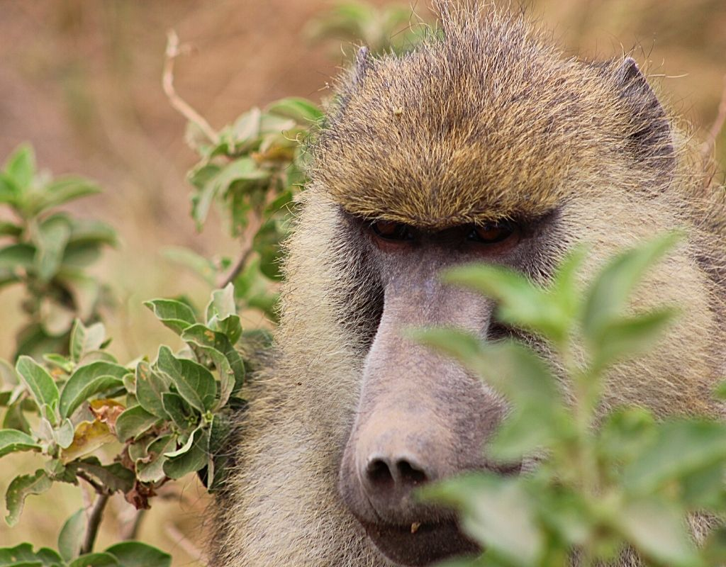 A close-up of a baboon in Kenya. Use foliage to frame your subject. tips for wildlife photography.